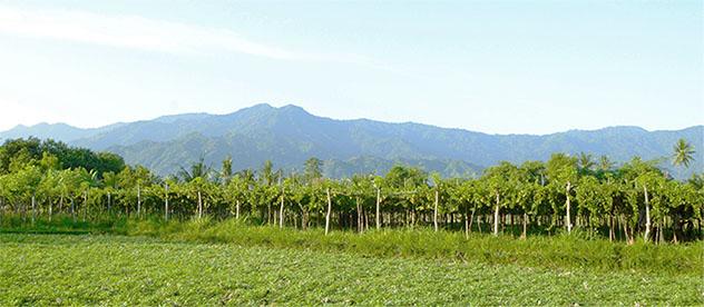 Sababay vineyard